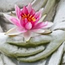 buddha hands holding a lotus flower