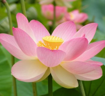 How to grow a lotus flower at homebuddhists buddhists the lotus and the mud understanding the murky life of a sacred flower mightylinksfo